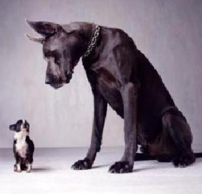Chihuahua en de deensedog behoren allebei tot de hondensoort