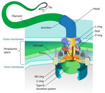schematische tekening van de flagellum