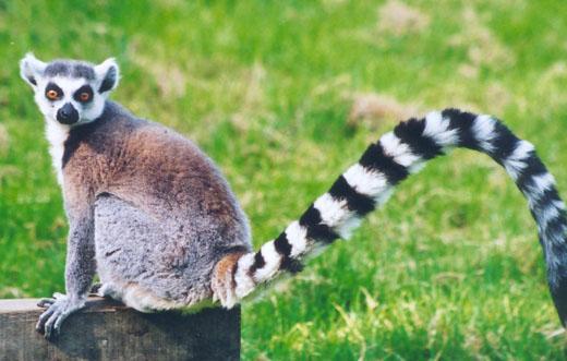 Ida was een Lemur
