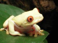 albinoredeye deze kikker heeft geen pigment meer