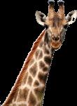 giraf is een wonder