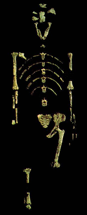 Het beroemde fosiel van de australopithecus Lucy
