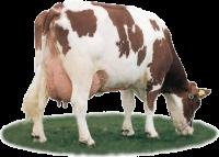 melkoe is n van de vele variaties binnen de runderen