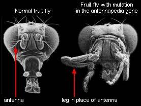 gemuteerde fruitvliegjes met de poten op hun kop