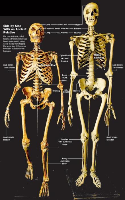 lichaamsbouw van een neanderthaler vergeleken met een modern mens