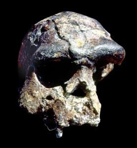 Homo-erectus ook wel peking-mens genoemd