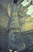 polystrate fossiel van een boom dwars door alle lagen heen